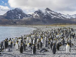 King Penguin on the island of South Georgia, rookery in Fortuna Bay. by Martin Zwick
