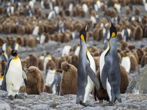 King Penguin on the island of South Georgia, rookery in St. Andrews Bay. Feeding behavior. by Martin Zwick