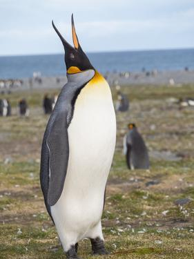 King Penguin on the island of South Georgia, rookery in St. Andrews Bay. by Martin Zwick