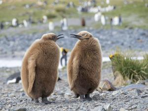 King Penguin rookery in Fortuna Bay. Chick in typical brown plumage. South Georgia Island by Martin Zwick
