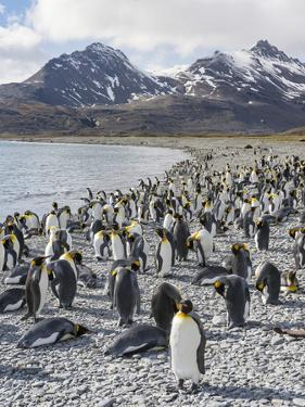 King Penguin rookery in Fortuna Bay. South Georgia Island by Martin Zwick