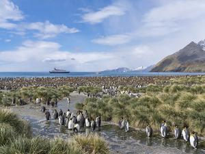 King Penguin rookery in Gold Harbour. In the background the cruise ship MS Sea Spirit. by Martin Zwick