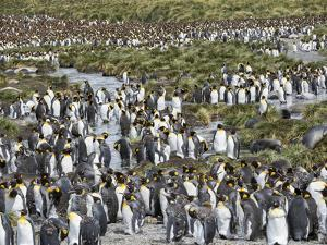 King Penguin rookery in Gold Harbour. South Georgia Island by Martin Zwick