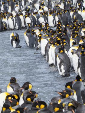 King Penguin rookery in St. Andrews Bay. Adults molting. South Georgia Island by Martin Zwick