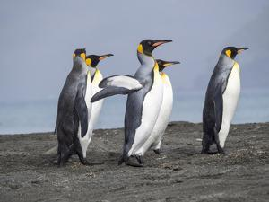 King Penguin rookery in St. Andrews Bay. Adults on beach, South Georgia Island by Martin Zwick