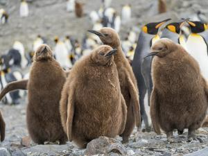 King Penguin rookery in St. Andrews Bay. Chick in typical brown plumage Antarctica by Martin Zwick