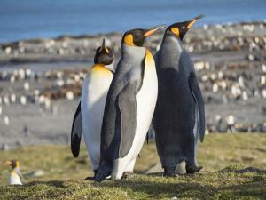 King Penguin rookery in St. Andrews Bay. Courtship behavior. South Georgia Island by Martin Zwick
