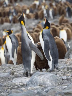 King Penguin rookery in St. Andrews Bay. Feeding behavior. South Georgia Island by Martin Zwick