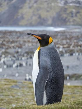 King Penguin rookery in St. Andrews Bay. South Georgia Island by Martin Zwick