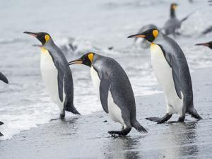 King Penguin rookery on Salisbury Plain in the Bay of Isles. South Georgia Island by Martin Zwick