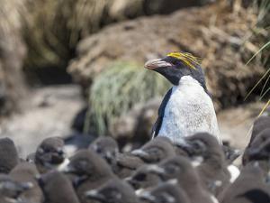 Macaroni Penguin in colony of Southern Rockhopper Penguins on Bleaker Island, Falkland Islands. by Martin Zwick