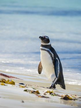 Magellanic Penguin at beach, Falkland Islands by Martin Zwick