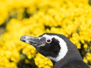 Magellanic Penguin at burrow in front of yellow flowering gorse, Falkland Islands by Martin Zwick