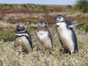 Magellanic Penguin at burrow with half grown chicks. Falkland Islands by Martin Zwick
