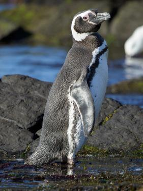 Magellanic Penguin at rocky shore, Falkland Islands by Martin Zwick