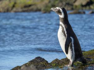 Magellanic Penguin at rocky shore, Falkland Islands by Martin Zwick