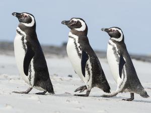 Magellanic Penguin, Falkland Islands. by Martin Zwick