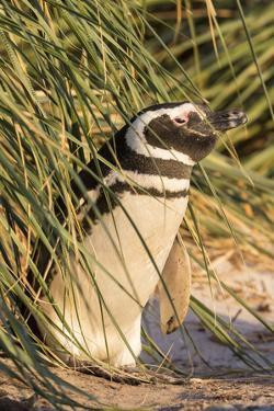 Magellanic Penguin, in Typical Tussock Environment. Falkland Islands by Martin Zwick