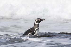 Magellanic Penguin on beach leaving the ocean. Falkland Islands by Martin Zwick