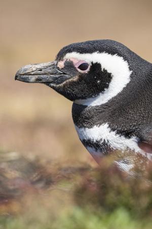 Magellanic Penguin, Portrait at Burrow. Falkland Islands