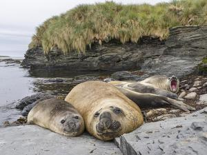 Male Southern elephant seal after breeding period on the Falkland Islands. by Martin Zwick