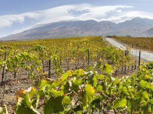 Modern viniculture at winery. Fogo Island, part of Cape Verde by Martin Zwick