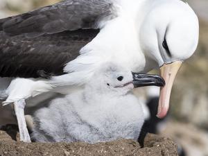 Mollymawk Chick with Adult Bird on Nest. Falkland Islands by Martin Zwick