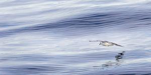 Northern Fulmar over the coast of southern Greenland. by Martin Zwick