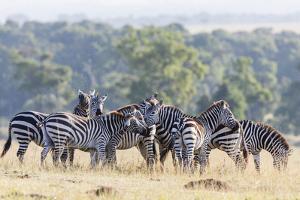 Plains Zebra, Maasai Mara, Kenya by Martin Zwick