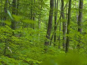 Primeval Beech Forests of the Carpathians and the Ancient Beech Forests of Germany. by Martin Zwick