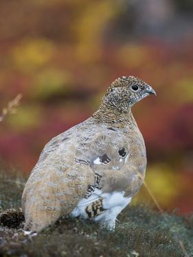 Rock Ptarmigan (Lagopus muta) in autumnal Tundra in the north west of Greenland. Greenland by Martin Zwick