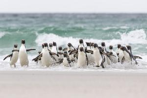 Rockhopper Penguin. Landing as a Group to Give Individuals Safety by Martin Zwick