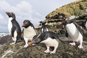 Rockhopper Penguin on Beach. Falkland Islands by Martin Zwick