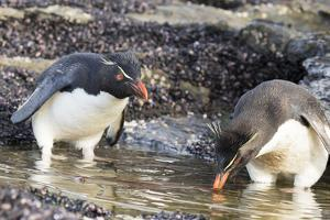 Rockhopper Penguin, Subspecies Southern Rockhopper Penguin by Martin Zwick