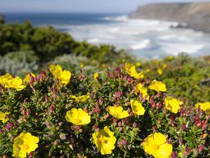 Rockrose at the Costa Vicentina, Algarve, Portugal. Portugal by Martin Zwick