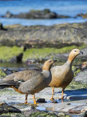 Ruddy-headed Goose (Chloephaga rubidiceps) in tidal area of Carcass Island, Falkland Islands by Martin Zwick