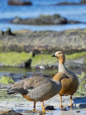 Ruddy-headed Goose in tidal area of Carcass Island, Falkland Islands by Martin Zwick