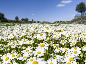 Scentless false mayweed meadow, Marvao. Portugal by Martin Zwick