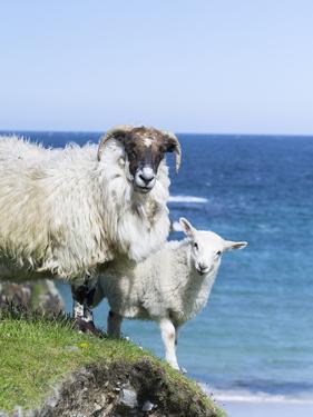 Scottish Blackface on the Isle of Harris, Scotland by Martin Zwick