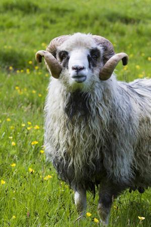 Sheep on the Faroe Islands, Denmark by Martin Zwick