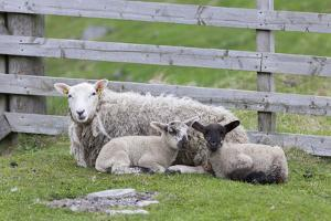 Shetland Sheep, a hardy breed of the Northern Isles in Scotland. by Martin Zwick