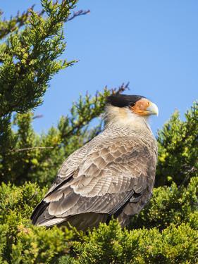 Southern crested caracara (Caracara plancus), Carcass Island, Falkland Islands by Martin Zwick