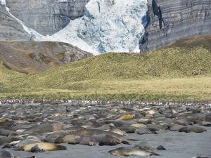 Southern elephant seal, beach with huge colony at Gold Harbor. by Martin Zwick