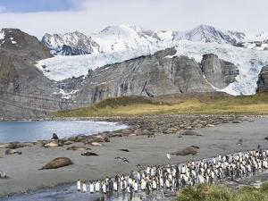 Southern elephant seal, beach with huge colony at Gold Harbour. South Georgia Island by Martin Zwick