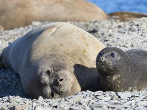 Southern elephant seal female with pup on beach. by Martin Zwick