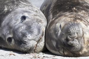 Southern Elephant Seal Males are Social after the Breeding Season by Martin Zwick