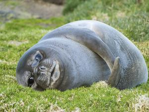 Southern elephant seal, weaned pup on beach. South Georgia Island by Martin Zwick