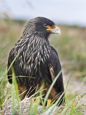 Striated Caracara (Phalcoboenus Australis), Falkland Islands by Martin Zwick