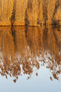 The reeds of the Danube Delta during sunset in winter, Romania. by Martin Zwick