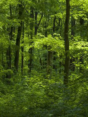 The woodland Hainich in Thuringia, Primeval Beech Forests of the Carpathians by Martin Zwick